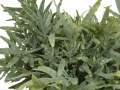 Phlebodium - sfeerbeeld